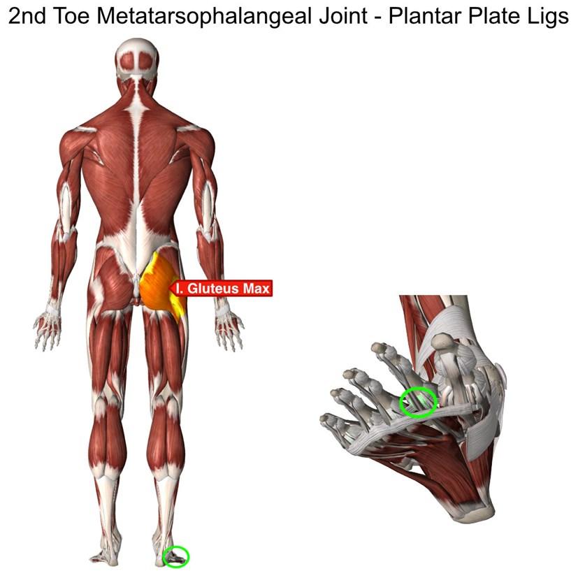 Toe Anatomy Joint Image collections - human body anatomy